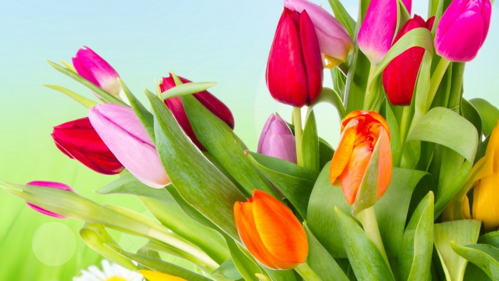 tulips-flowers-varicoloured-7096