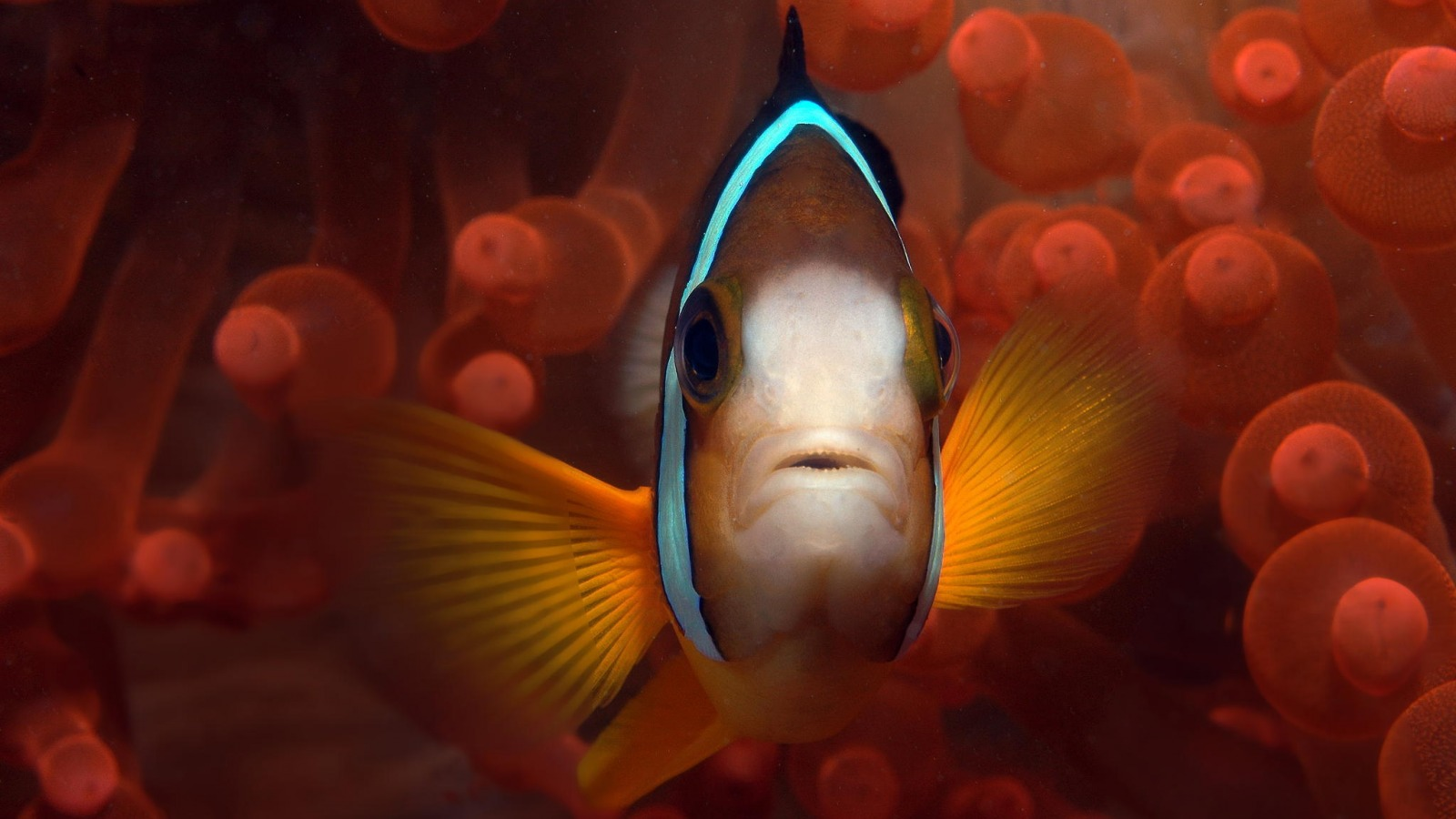 clown-fish-palau-rybka