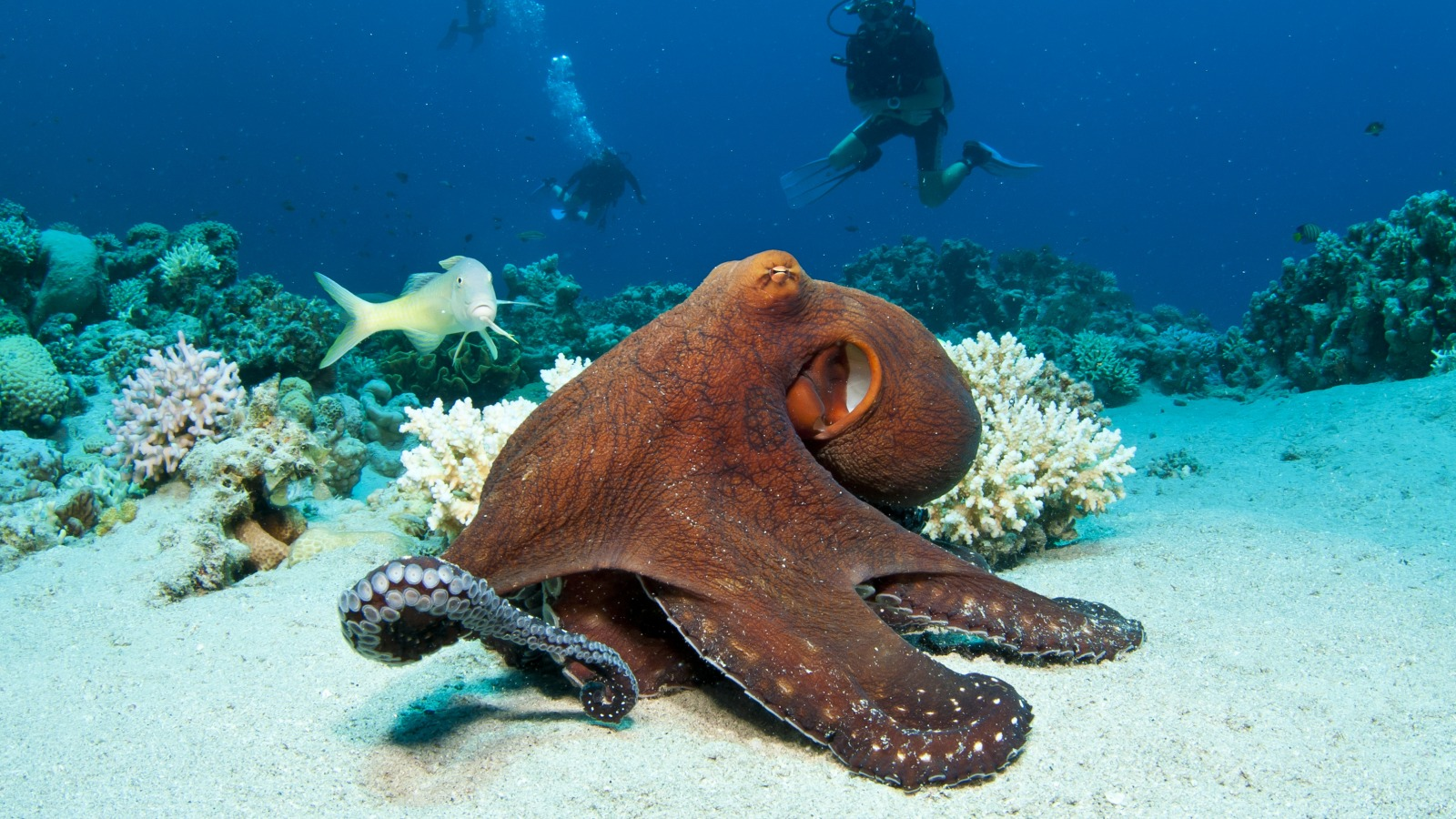 red-octopus-tropical-coral